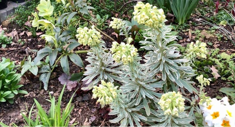 Pruning Euphorbia to get the most out of them