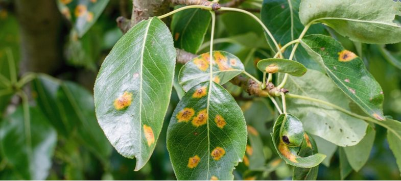 Treating  and preventing rust on plants such as roses, vegetables, perennials, shrubs and fruit
