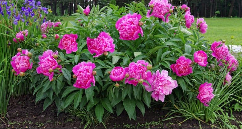 Why are my peonies not flowering