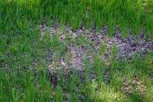 sowing grass seed in bare patch in shady lawn