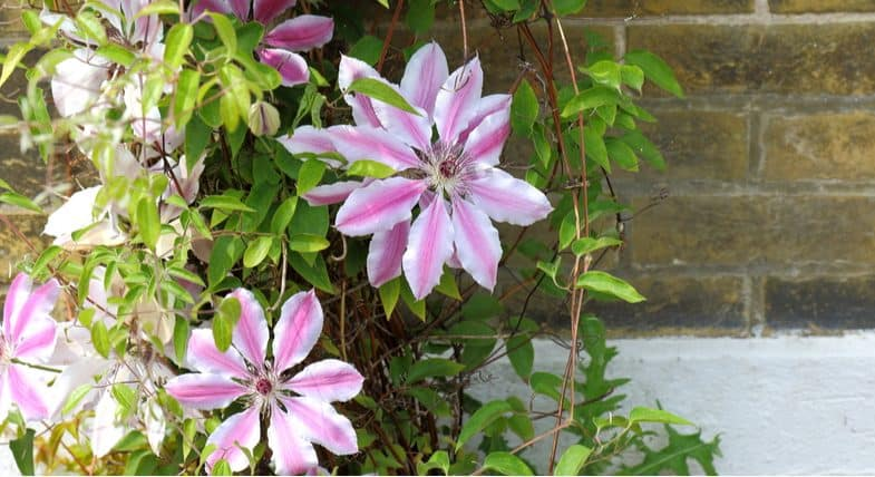 Top 8 Best clematis for a north-facing wall with only a few hours of sunlight each day