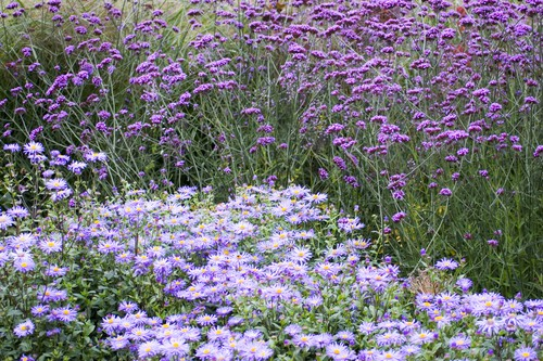 Growing Verbena bonariensis
