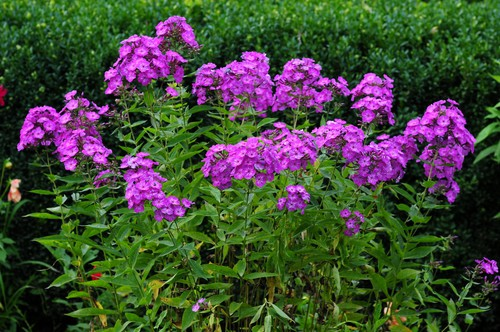 Growing phlox