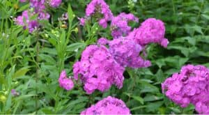 Phlox plants are best divided every few years so in his guide we look at how and when to divide them to get the most out of them and how to keep them flowering