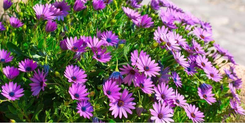 How to grow and care for osteospermum (African daisies)