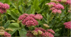 Sedum plants are easy to grow, offer interest all year round and the flowers are loved by bees and butterflies. Learn how to grow and care for sedums in the UK.
