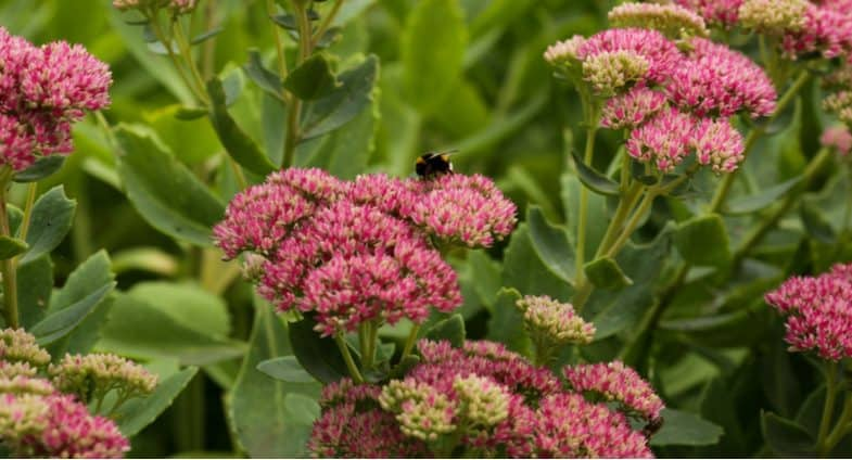 How to plant, grow and care for sedum plants