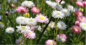 Asters are easy to grow from seed but need fertile, moist but free-draining soil in full sun or partial shade. Learn more about how to grow and care for asters.