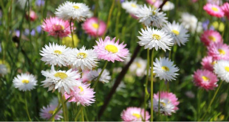 How to plant, grow and care for asters from sowing seed to winter care