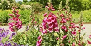 In this guide, we look at how to grow foxgloves also known as Digitalis. They are very easy to grow and often self-seed. They are short-lived but grow well in shade.