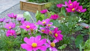 In this guide we look at how to plant, grow and care for cosmos annual plants from growing from seed to general care such as feeding and watering.