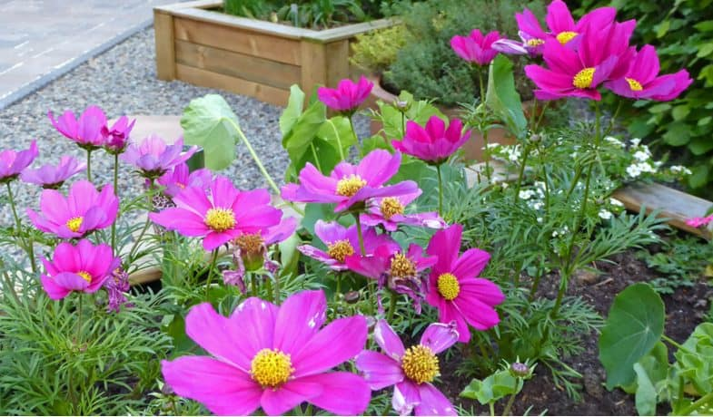 How to grow, plant and care for cosmos