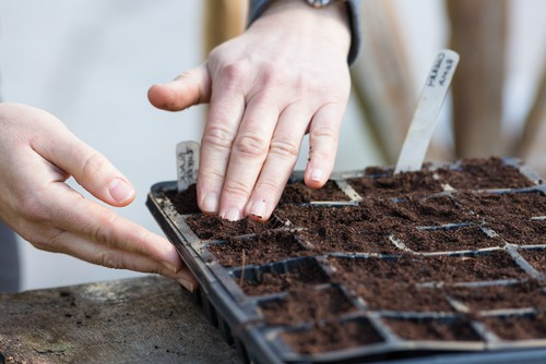 Sowing summer bedding in trays